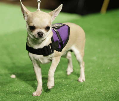Mia, a Chihuahua, is shown during a press conference to announce the 137th Annual Westminster Kennel Club dog show Thursday, Feb. 7, 2013, in New York. &#40;AP Photo&#47;Frank Franklin II&#41; <span class=meta>(AP Photo&#47; Frank Franklin II)</span>
