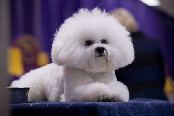 Honor, a Bichon Frise, and winner of the non-sporting group, is shown before competing in the Westminster Kennel Club dog show Monday, Feb. 11, 2013, at Madison Square Garden in New York. Monday, Feb. 11, 2013, at Madison Square Garden in New York.(AP Photo/Frank Franklin II)