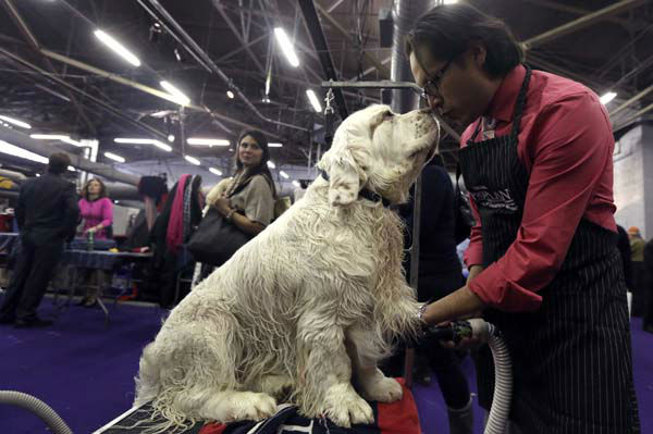 Gustavo Jimenez grooms 3-year-old Clumber Spaniel Seymor during the 137th Westminster Kennel Club dog show, Monday, Feb. 11, 2013, in New York. (AP Photo/Mary Altaffer)