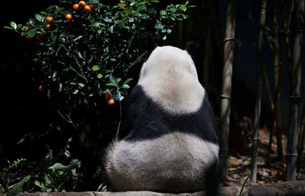 "<div class=""meta image-caption""><div class=""origin-logo origin-image ""><span></span></div><span class=""caption-text"">Female Giant Panda ""Jia Jia"", one of two Giant Pandas from China shys away from the camera in its enclosure on Monday Oct. 29, 2012 in Singapore. These two Giant Pandas are from China and will be residing at the River Safari Singapore, part of the Wildlife Reserves Singapore's new attraction opening in 2013. This is part of the organization's continuous efforts in boosting tourism and generating public awareness of the world's struggle in preserving its endangered species.(AP Photo/Wong Maye-E) (AP Photo/ Wong Maye-E)</span></div>"