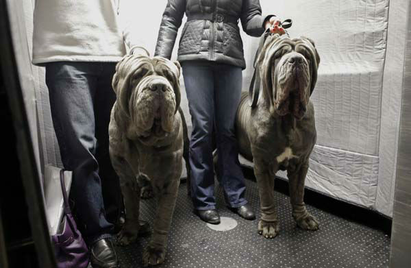 "<div class=""meta ""><span class=""caption-text "">FILE- In this Feb. 10, 2013, file photo, a pair of Neopolitan Bull Mastifs named Paparazzi and Ruben ride the elevator with their owners after checking into the Hotel Pennsylvania in New York ahead of the 137th Annual Westminster Kennel Club Dog Show. Although some larger breeds like the Bull Mastif, look imposing to some, eat lots of food and may suffer health issues that aren?t seen in smaller breeds, large breeds remain favorites among dog owners and the general public alike.  (AP Photo/Kathy Willens, File) (AP Photo/ Kathy Willens)</span></div>"