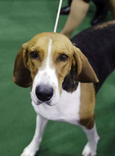 "<div class=""meta ""><span class=""caption-text "">Jewel, an American Foxhound and winner of the hound group, leaves the competition area during the Westminster Kennel Club dog show, Monday, Feb. 11, 2013, at Madison Square Garden in New York. (AP Photo/Frank Franklin II)</span></div>"