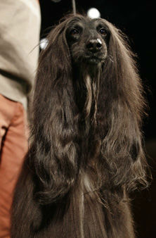 Chile, an Afghan hound, is shown during a press conference to announce the 137th Annual Westminster Kennel Club dog show Thursday, Feb. 7, 2013, in New York. &#40;AP Photo&#47;Frank Franklin II&#41; <span class=meta>(AP Photo&#47; Frank Franklin II)</span>