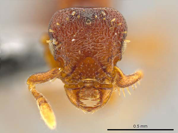 "<div class=""meta image-caption""><div class=""origin-logo origin-image ""><span></span></div><span class=""caption-text"">Note the sideways-moving jaws on the face of this queen of the ant species Octostruma convallis, one of 33 new species of Central American and Caribbean ants discovered by Jack Longino, an entomologist and taxonomist at the University of Utah. Longino now has discovered more than 130 new species of ants during his career. (John T. Longino, University of Utah)</span></div>"
