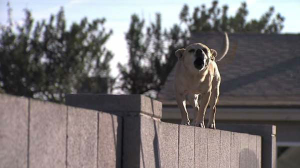 "<div class=""meta ""><span class=""caption-text "">Chihuahuas are apparently overrunning Maryvale, a Phoenix neighborhood, where animal control officers report hundreds of calls about small, stray dogs.  (WLS Photo)</span></div>"
