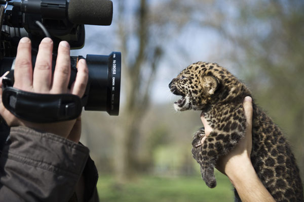 A cameraman records the four weeks old leopard cub Imoo at Nyiregyhaza Animal Park in Nyiregyhaza, 227 kms northeast of Budapest, Hungary, Thursday, March 5, 2012. The cub&#39;s name means darkness in Swahili language. Imoo&#39;s parents have lived in the zoo since 2007.  <span class=meta>(AP Photo&#47;MTI, Attila Balazs)</span>