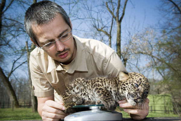 Deputy Director Endre Papp measures the four weeks old male leopard cub Imoo on a scale at Nyiregyhaza Animal Park in Nyiregyhaza, 227 kms northeast of Budapest, Hungary, Thursday, March 5, 2012. The cub&#39;s name means darkness in Swahili language. Imoo&#39;s parents have lived in the zoo since 2007.  <span class=meta>(AP Photo&#47;MTI, Attila Balazs)</span>