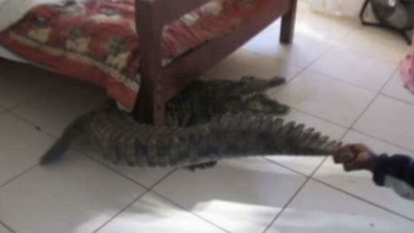 The 330-pound crocodile managed to hide under the bed for eight hours.