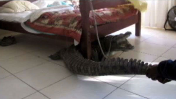 "<div class=""meta ""><span class=""caption-text "">Staff from the lodge got a rope around the crocodile to drag it out.</span></div>"
