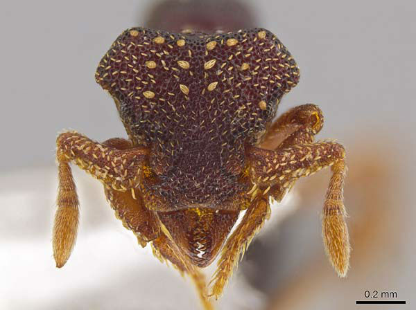 This photo shows the magnified monster-like face of the ant Eurhopalothrix zipacna, named after Zipacna, a vicious, crocodile-like demon of Mayan mythology. Found in the mountains of Guatemala and Honduras, it is among 33 new ants species discovered in Central America and the Caribbean by Jack Longino, a biologist at the University of Utah. <span class=meta>(John T. Longino, University of Utah)</span>