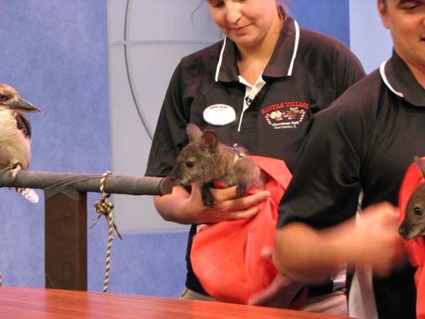 Santa&#39;s Village in East Dundee brought four of their friendly critters for a visit to ABC7&#39;s studios on Tuesday, July 31, 2012. With critters like the white tegu &#40;the lizard&#41;, a haired tarantula, wallaby babies and a laughing kookaburra &#40;the bird&#41;, this visit brought plenty of fun.  <span class=meta>(WLS Photo&#47; Shantelle Jefferson)</span>