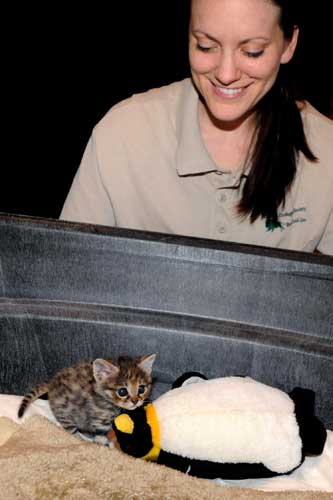 Kate Sladek, a veterinary technician for the Chicago Zoological Society, watches a male 6-week-old black-footed cat kitten that was born at Brookfield Zoo on February 14. He is being handreared at the Animal Hospital because his mom was not providing him with proper maternal care. <span class=meta>(Jim Schulz&#47;Chicago Zoological Society)</span>