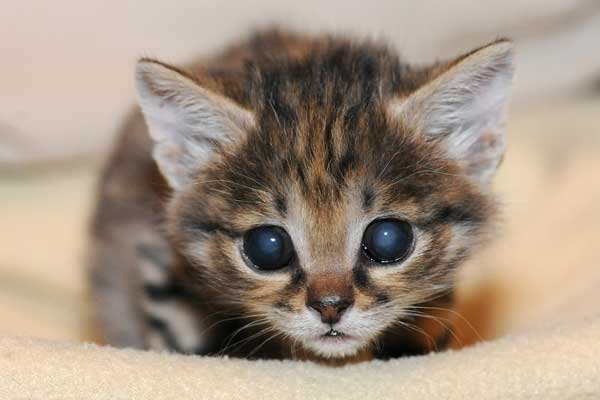 A male black-footed cat kitten was born at Brookfield Zoo on February 14. Because his mom was not providing him with proper maternal care, staff quickly intervened and began handrearing him at the Animal Hospital. <span class=meta>(Jim Schulz&#47;Chicago Zoological Society)</span>