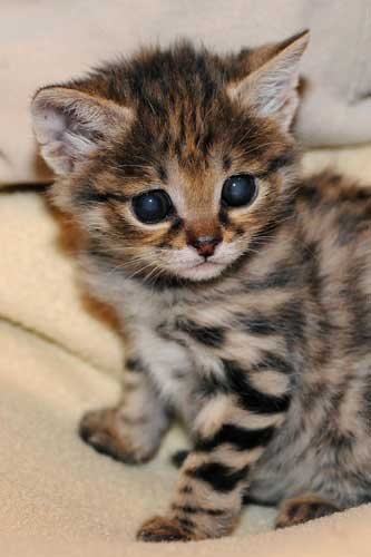 "<div class=""meta ""><span class=""caption-text "">A male black-footed cat kitten was born at Brookfield Zoo on February 14. Because his mom was not providing him with proper maternal care, staff quickly intervened and began handrearing him at the Animal Hospital. (Jim Schulz/Chicago Zoological Society)</span></div>"
