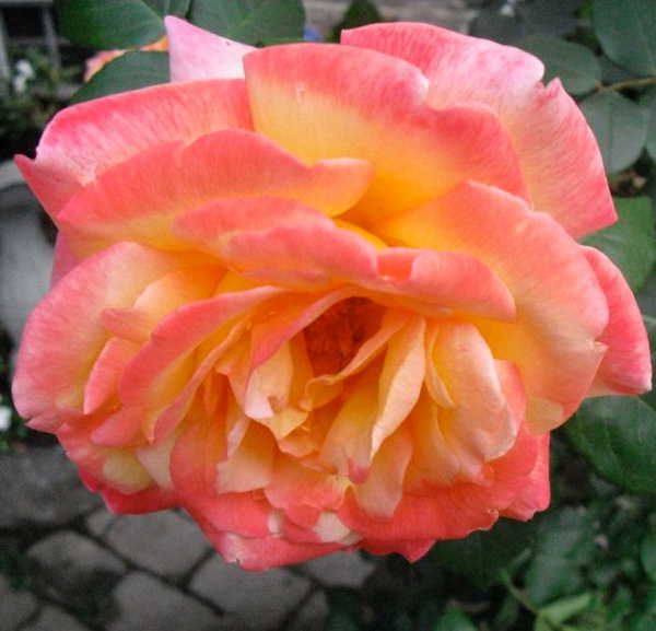 "<div class=""meta ""><span class=""caption-text "">One of many roses being grown by Adam Joseph at his home.</span></div>"