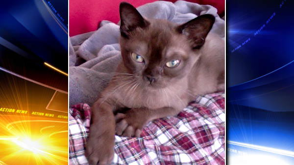 This is Owen, a 14-week-old Burmese kitten, who lives with Action News producer Jessica Gonzalez.