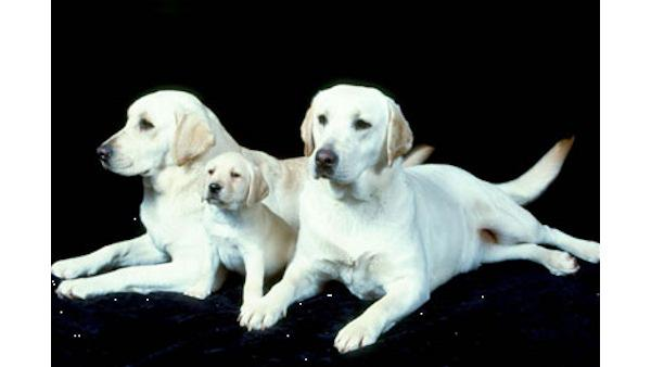 AKC's Top Dogs of 2009