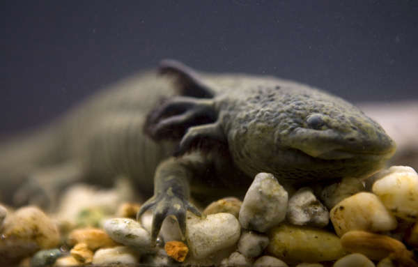 An Axolotl salamander, or Ambystoma mexicanum, swims in a tank at the Chapultepec Zoo in Mexico City, Sept. 27, 2008. Scientists warn that the roughly foot-long amphibian is just a few years away from extinction, a victim of the draining of its lake habitat, deteriorating water quality, and what is perhaps the final stake in its heart: the invasion of non-native fish species that are eating its eggs and larva, and competing with it for food. <span class=meta>(Photo&#47;AP Photo)</span>