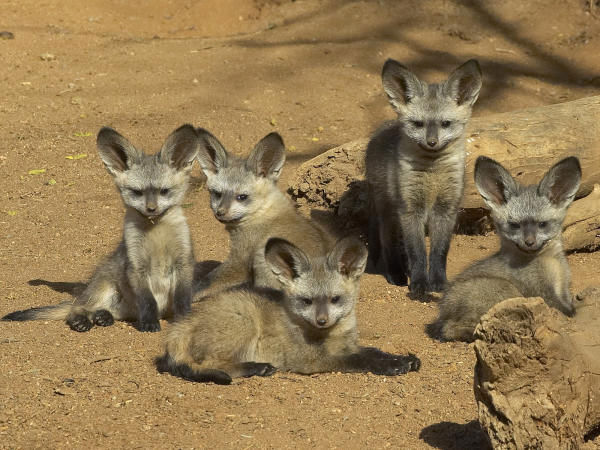 In this photo provided by the Zoological Society of San Diego, five South African bat eared fox kits have emerged from their birthing den at the San Diego Zoo&#39;s Wild Animal Park on Friday, June 8, 2007. The kits were born sometime in late April, but have only recently started making a public appearance outside the den. These foxes are native to African savannahs and are rarely seen in zoos. <span class=meta>(Photo&#47;AP Photo)</span>