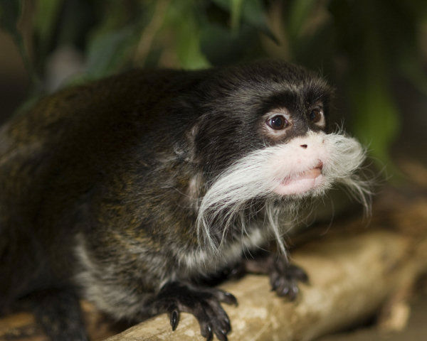 In this photo provided by the Lincoln Park Zoo, Rollie, an Emporer Tamarin monkey is seen at Chicago&#39;s Lincoln Park Zoo. The Golden Years have arrived at the nation&#39;s zoos and aquariums, and that is taking veterinarians and keepers into a zone of unknowns.  <span class=meta>(Photo&#47;AP Photo)</span>