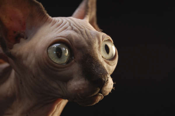 This undated photo provided by National Geographic Television shows a new breed of cat, a bambino &#40;hairless, dwarf cat&#41; in Reno, Nev. In the upcoming National Geographic Channel documentary &#34;Explorer: Science of Cats,&#34; anthropologists and feline geneticists trace the evolution of the cat from wild beast to pampered house pet. <span class=meta>(Photo&#47;AP Photo)</span>