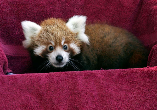 Tenzin, a twelve week old male Red Panda cub, looks out from a box as he is weighed at Taronga Zoo in Sydney, Australia, on Wednesday, March 28, 2007. Tenzin is one of two cubs born to Wanmei who came from Erie Zoo in the U.S. state of Pennsylvania, to bread with Taronga&#39;s male named Mayhem. <span class=meta>(Photo&#47;AP Photo)</span>