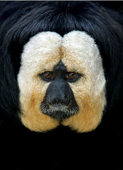 A male white-faced saki monkey is seen in its pen at the Ben Shemen Monkey Park in Ben Shemen, central Israel, Sunday, April 9, 2006. The White-faced Saki, also known as the Guyanan Saki and the Golden-faced Saki is found in Brazil, French Guyana, Guyana, Suriname, and Venezuela. <span class=meta>(Photo&#47;AP Photo)</span>