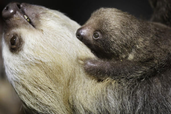 A baby Hoffman&#39;s two-toed sloth whose sex is not yet known is seen atop its mother Charlotte at the Philadelphia Zoo in Philadelphia, Wednesday, July 15, 2009. The zoo&#39;s new addition was born June 10. <span class=meta>(Photo&#47;AP Photo)</span>