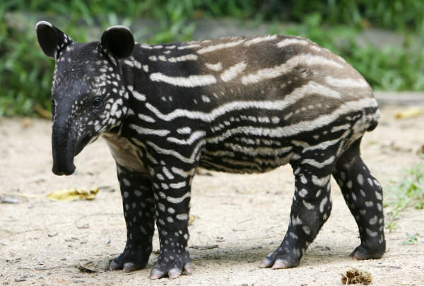 "<div class=""meta image-caption""><div class=""origin-logo origin-image ""><span></span></div><span class=""caption-text"">A one-month-old Malayan Tapir named Victoria is seen on Thursday, April 2, 2009 in Singapore at the Singapore Zoo in Singapore. The Malayan Tapir is a native to Southeast Asia and to date, there are eight Malayan Tapirs at the zoo. (Photo/AP Photo)</span></div>"