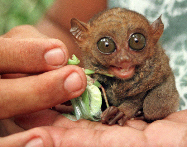"<div class=""meta ""><span class=""caption-text "">A tarsier (Tarsius Syrichta) rests in the palm of its caretaker while being fed June 23, 1997 in a farm in Bohol province, 396 miles (640 kms) south of Manila, Philippines. The tarsier is the smallest primates in the world and considered as an endangered species.  (Photo/AP Photo)</span></div>"