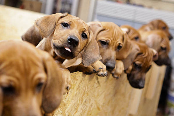 A dog in Germany has given birth to 17 puppies, leaving their owner thrilled but fatigued after having to feed them with a bottle for several weeks because their mother couldn&#39;t cope with the demand.  <span class=meta>(AP Photo)</span>