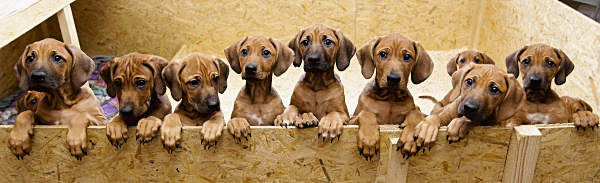 Nine Rhodesian Ridgeback puppies from a litter of 17, look out of their box in Nauen, 50 kilometers outside Berlin on Monday, Dec. 20, 2010. On Sept 28, and 29, 4 years old Ridgeback Etana had 17 puppies. All of them survived.  <span class=meta>(&#40;AP Photo&#47;Markus Schreiber&#41;)</span>