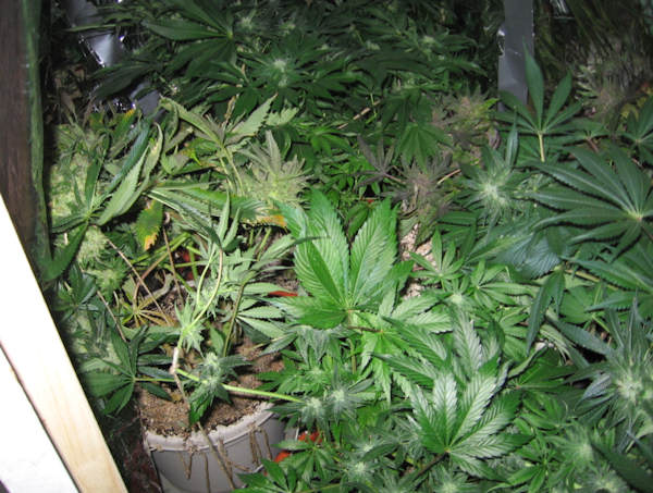 <span class=meta>(Police released pictures of the marijuana that was allegedly found at the home of Jarrett Husid near the University of Delaware.)</span>