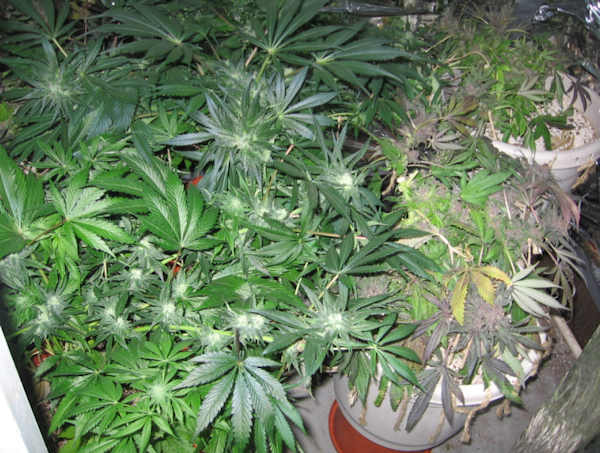 "<div class=""meta ""><span class=""caption-text "">(Police released pictures of the marijuana that was allegedly found at the home of Jarrett Husid near the University of Delaware.)</span></div>"