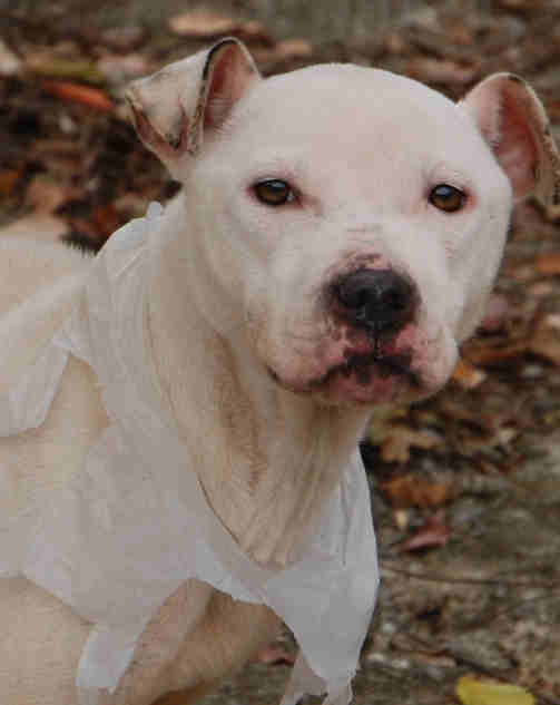 The SPCA says another starved pit bull was discovered in Delaware County. The dog, nicknamed &#34;Georgette&#34; was found in poor condition, rummaging through trash on the 1400 block of Kerlin Street. Anyone with information is asked to call 610-566-1370.  <span class=meta>(Delaware County SPCA)</span>