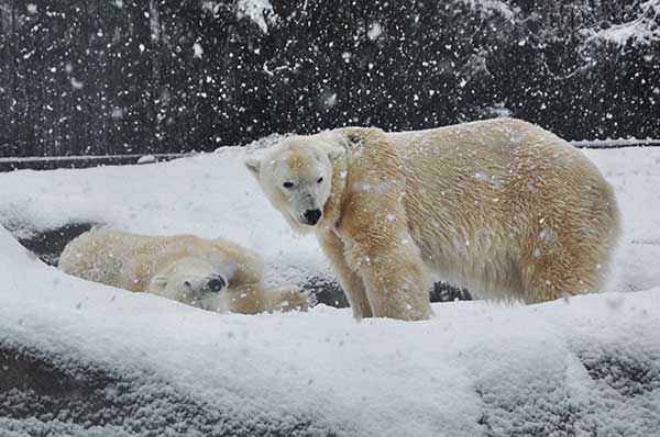 Some animals at the Philadelphia Zoo enjoyed being out in the snow on Monday, February 3, 2014.