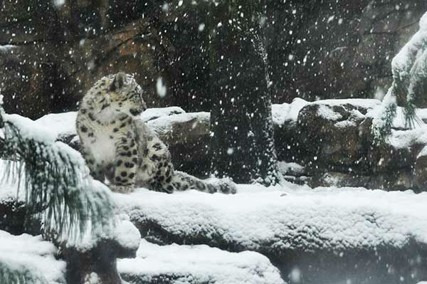 "<div class=""meta ""><span class=""caption-text "">Some animals at the Philadelphia Zoo enjoyed being out in the snow on Monday, February 3, 2014.</span></div>"