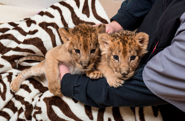 "<div class=""meta ""><span class=""caption-text "">Six Flags Great Adventure and Safari's animal care team has adopted the role of surrogate mother to a pair of playful lion cubs born in January and a single cub born just two weeks ago.</span></div>"