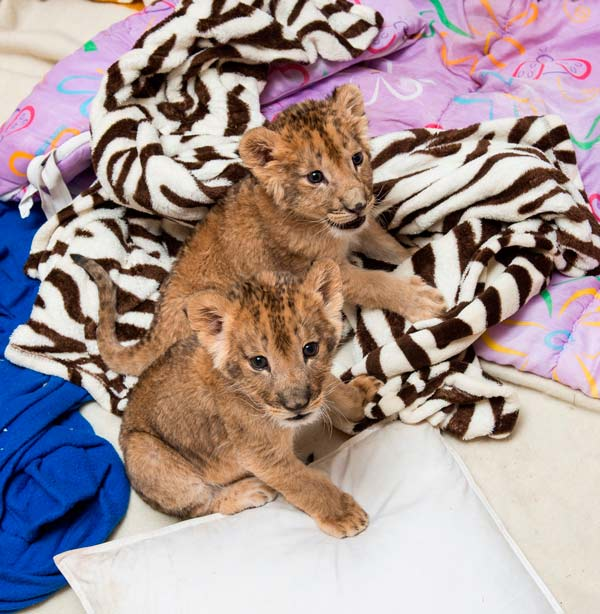 Six Flags Great Adventure and Safari's animal care team has adopted the role of surrogate mother to a pair of playful lion cubs born in January and a single cub born just two weeks ago.