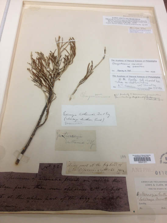 Plant specimen from the Lewis and Clark expedition.