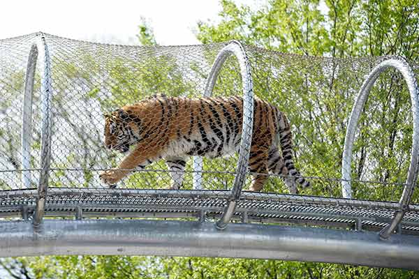 An Amur tiger walks across a passageway after a news conference at the Philadelphia Zoo, Wednesday, May 7, 2014, in Philadelphia. The see-through mesh pathway called Big Cat Crossing is part of a national trend called animal rotation that zoos use to enrich the experience of both creatures and guests. (AP Photo/Matt Slocum)