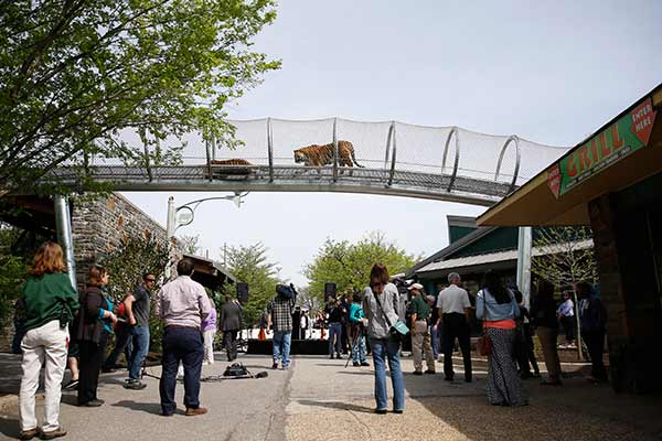 Amur tigers walk across a passageway after a new conference at the Philadelphia Zoo, Wednesday, May 7, 2014, in Philadelphia. The see-through mesh pathway called Big Cat Crossing is part of a national trend called animal rotation that zoos use to enrich the experience of both creatures and guests. (AP Photo/Matt Slocum)