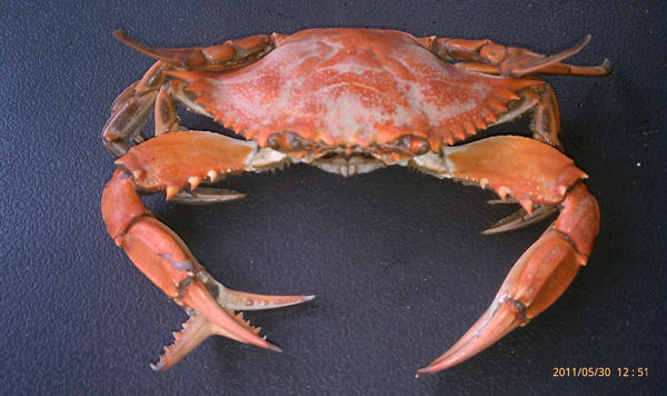 Action News viewer Mike Pintoski caught this unusual looking crab on Memorial Day in Absecon, New Jersey.