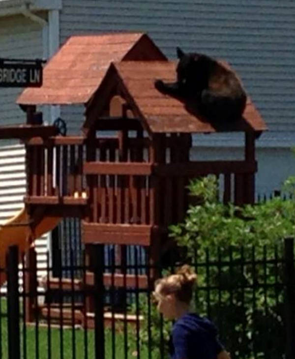 "<div class=""meta ""><span class=""caption-text "">Picture of a black bear spotted in Buckingham Township, Bucks County.  Submitted to Action News by Kelley Fitzpatrick Simkiss on June 19th.</span></div>"