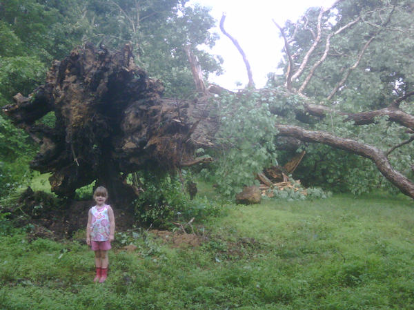 Submitted by:Jen   Caption:200+ yr old great oak uprooted in Glenmoore   RELATED: CLICK HERE for more viewer submitted photos