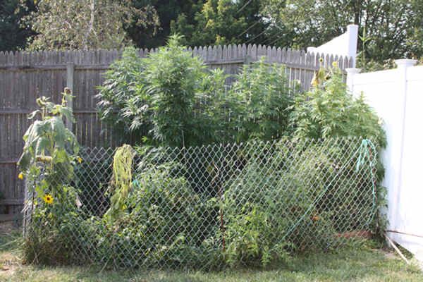 "<div class=""meta ""><span class=""caption-text "">New Castle County police were called to the 100 block of Southerland Drive on Thursday for a possible drug violation. During a search, police say they found five tall marijuana plants in the garden behind the home. Authorities say they also found marijuana, two handguns and ammunition in a rear shed, and marijuana pipes and more guns in the master bedroom. Police say hypodermic needles and digital scales were found in another bedroom. Arrested are 55-year-old Roland Caldwell and 54-year-old Stella Caldwell. They are facing several marijuana and firearms charges. Authorities also charged 23-year-old Kenneth Simpler with possession of steroids and drug paraphernalia.</span></div>"