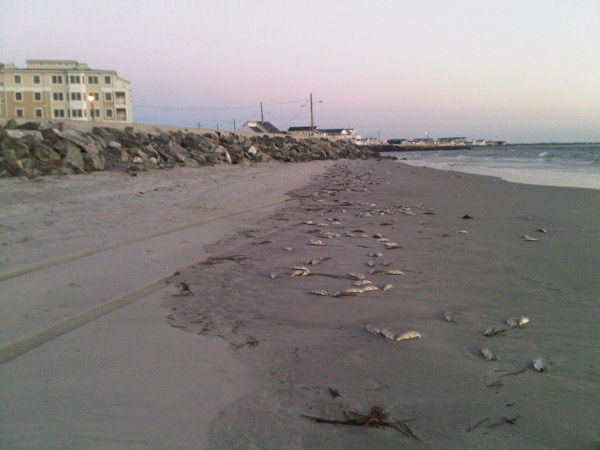 North Wildwood Fish Kill