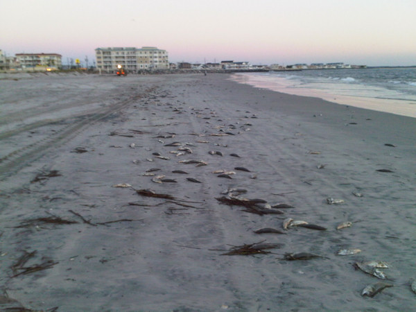 "<div class=""meta ""><span class=""caption-text "">Action News viewer Deb sent in these photos of a fish kill in The Pointe at Moore's Inlet in North Wildwood, New Jersey on September 18, 2010.  </span></div>"