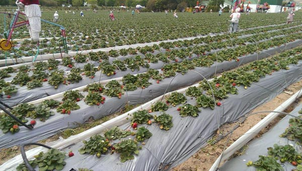 &#34;In Stellenbosch, South Africa, strawberry fields. Forever.&#34; - @Jim_Gardner on Twitter <span class=meta>(Jim Gardner&#47; @Jim_Gardner)</span>