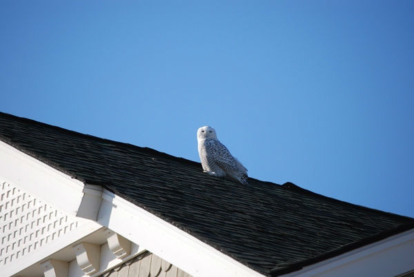 A snowy owl is seen flying over Strathmere, Cape May County in photos taken by Action News viewer Bill Tierney. <span class=meta>(Photo&#47;Bill Tierney)</span>